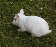 White rabit. Rabbits are small mammals in the family Leporidae of the order Lagomorpha, found in several parts of the world Royalty Free Stock Image