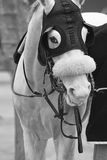 White race horse head with blinkers. Paddock area. Vertical Stock Photography