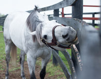White Racehorse. A white racehorse peaks at us through is fence Stock Images