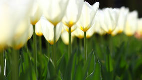 White radiating tulips in warm light. Beautiful fragile white glowing tulips in warm light and green background Stock Photos
