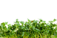 White radish sprouts. On a white background Royalty Free Stock Images