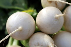 White Radishes. A bunch of white radishes are a crisp pop of color to the local grower's market Royalty Free Stock Images