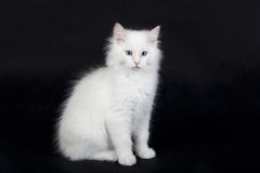 White Ragdoll cat Stock Image