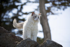 White Ragdoll Cat Stock Photos