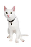 White Ragdoll cat with green eyes. Ragdoll cat with green eyes on white background Royalty Free Stock Images