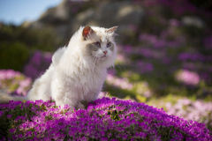 White Ragdoll Cat. A white ragdoll cat sits on a bed of pink flowers on a sunny spring day royalty free stock photography