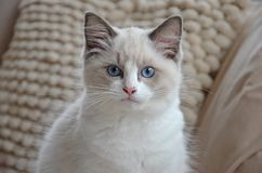 White ragdoll kitten. With bright blue eyes looking at the camera against a background of white pillows royalty free stock image