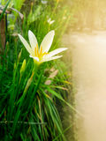 White rain lily flower with green leaves and buds Royalty Free Stock Photos