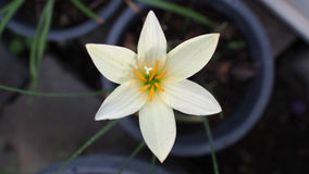 White Rain Lily Flowers Blooming Stock Photo