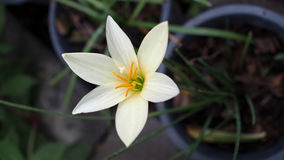 White Rain Lily Flowers Blooming Stock Photos