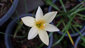 White Rain Lily Flowers Blooming Royalty Free Stock Photography
