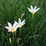 White rain lily at the garden Royalty Free Stock Photos