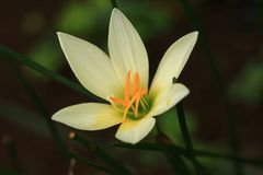 White rain lily royalty free stock photos