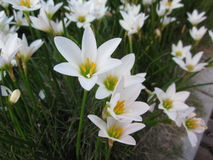 White rain lily or Zephyranthes candida flowers. White rain lily or Zephyranthes candida flowers is blooming in China stock photography