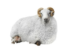 White ram stock photography