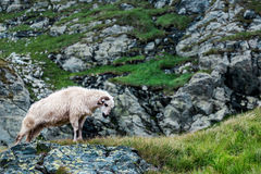 White ram standing on the rocks Royalty Free Stock Photos