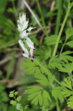 White Ramping-fumitory Royalty Free Stock Images