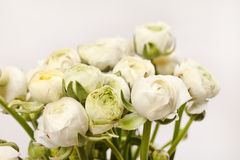 White Ranunculus Stock Photography