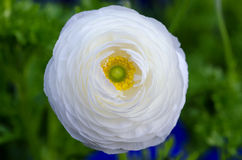 White Ranunculus Stock Photos