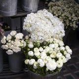 white Ranunculus asiaticus flower Stock Photos