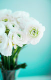 White ranunculus on blue background Stock Image