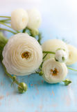 White ranunculus. On the blue vintage bbackground Royalty Free Stock Images