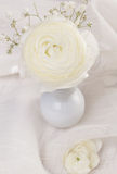 White ranunculus flower Royalty Free Stock Photography