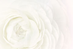 White Ranunculus Flower Macro Partial View Royalty Free Stock Photos