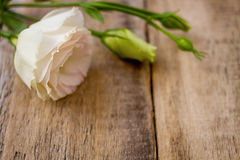 White ranunculus flowers Royalty Free Stock Image