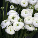 White ranunculus (persian buttercup) Stock Images