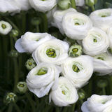 White ranunculus (persian buttercup) Stock Photo