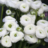 White ranunculus (persian buttercup) Stock Image