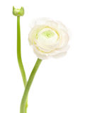 White  ranunculus, persian buttercup Royalty Free Stock Image