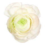 White  ranunculus, persian buttercup Stock Photos