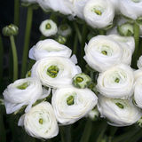 White ranunculus (persian buttercup) Royalty Free Stock Photo