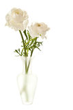 White Ranunculus in Vase Stock Photography