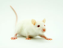 White rat Stock Images