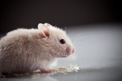 White rat Royalty Free Stock Image