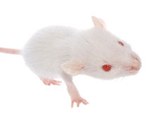 White rat Stock Photography
