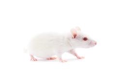 White rat Stock Image