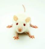 White rat Stock Photo