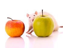 White Rat and apple Stock Photos