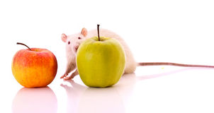 White Rat and apple isolated Royalty Free Stock Images
