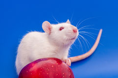 White rat with apple. White rat on a royal blue background Royalty Free Stock Images
