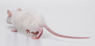 White rat back side Royalty Free Stock Photography