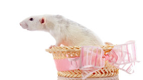 White rat in a basket with a bow. Royalty Free Stock Images