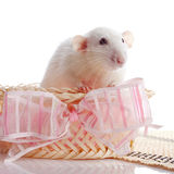 White rat in a basket with a pink bow. Stock Images