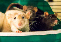 White rat with cagemates. White dumbo rat sitting with cagemats in a litterbox and looking at the camera Royalty Free Stock Photos