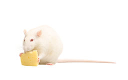 White rat with cheese Royalty Free Stock Photos