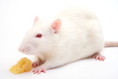 White rat Stock Image